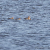 Red-breasted Mergansers <br /> Ellis Bay <br /> Riverlands Migratory Bird Sanctuary