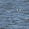 Common and Red-throated Loon <br /> Lincoln Shields Area <br /> Riverlands Migratory Bird Sanctuary