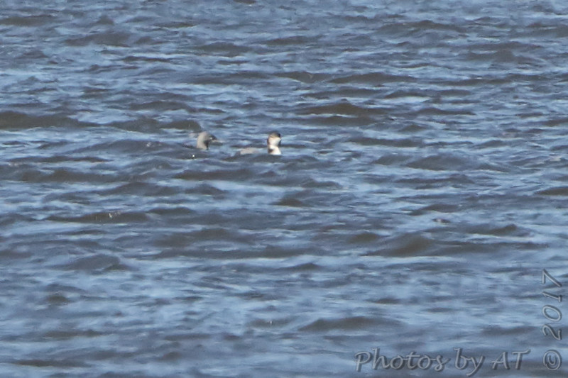 Common and Red-throated Loons <br /> Lincoln Shields Area <br /> Riverlands Migratory Bird Sanctuary
