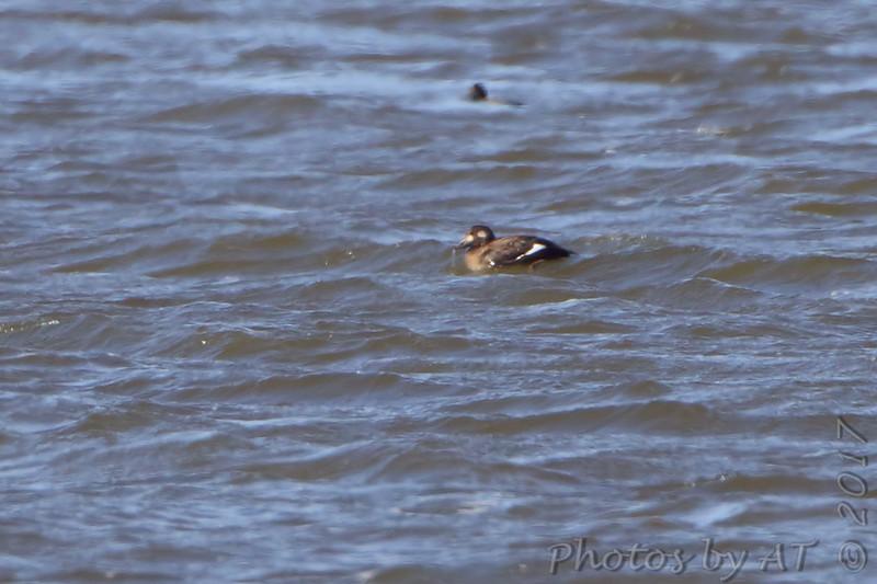 White-winged Scoter <br /> Ellis Bay - Illinois<br /> Riverlands Migratory Bird Sanctuary