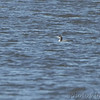 Common Loon <br /> Lincoln Shields Area <br /> Riverlands Migratory Bird Sanctuary