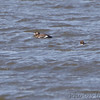 White-winged Scoter <br /> Ellis Bay - Illinois<br /> Riverlands Migratory Bird Sanctuary