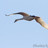 Mute Swan <br /> Over Heron Pond <br /> Riverlands Migratory Bird Sanctuary
