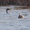 Red-necked Grebe and Pied-billed Grebe <br /> Ellis Island lagoon <br /> Riverlands Migratory Bird Sanctuary