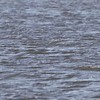 """Look quick as the White-winged Scoter dives <br> Ellis Bay - Illinois <br> Riverlands Migratory Bird Sanctuary <br> 2017-11-20 13:04:16 <br>  <span class=""""noShowSmart""""> <a href=""""/MyKeywords/Bird-Videos/n-gF9bt/i-vjdNXk7/A""""> <span style=""""color:yellow"""">Click here to open video in lightbox/full screen</span></a> </span>  <span class=""""noShowGallery""""> <a href=""""/Birds/2017-Birding/Birding-2017-November/2017-11-20-Riverlands-Migratory-Bird-Sanctuary/i-vjdNXk7/A""""> <span style=""""color:yellow"""">Click here to open video in lightbox/full screen</span></a> </span>"""