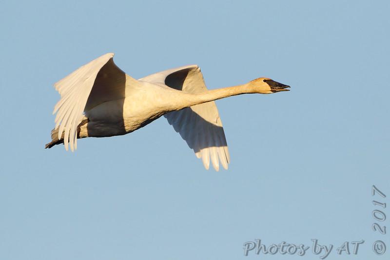 Trumpeter Swan <br /> Riverlands Migratory Bird Sanctuary