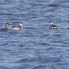 Red-necked Grebe and Horned Grebes <br /> Ellis Bay <br /> Riverlands Migratory Bird Sanctuary