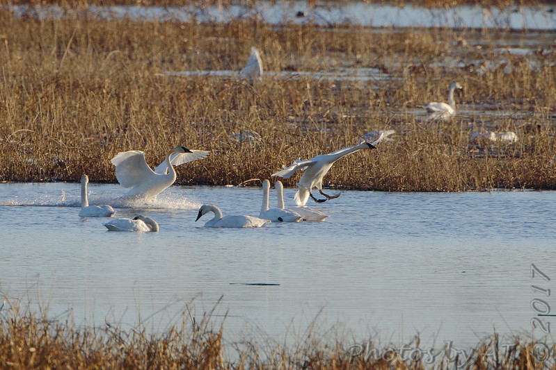 Trumpeter Swans <br /> Heron Pond <br /> Riverlands Migratory Bird Sanctuary