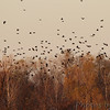 American Crows <br /> Over Ellis island <br /> Riverlands Migratory Bird Sanctuary