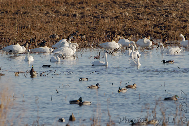 Trumpeter and Tundra Swans <br /> Heron Pond <br /> Riverlands Migratory Bird Sanctuary