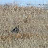 Black-bellied Whistling-Ducks <br /> Heron Pond <br /> Riverlands Migratory Bird Sanctuary