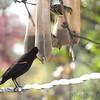 "Red-winged Blackbird <br /> ""New"" bird on nyjer sacks!<br /> Bridgeton, MO <br /> 2017-11-03"