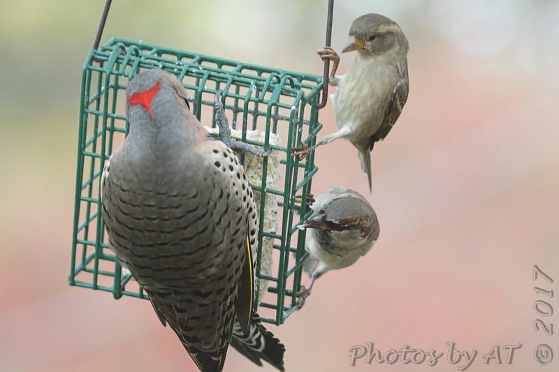 Northern Flicker <br /> House Sparrows <br /> Bridgeton, Mo <br /> 2017-11-07