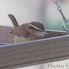 Carolina Wren <br /> Bridgeton, Mo <br /> 2017-11-11