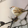 Eurasian Tree Sparrow <br /> Bridgeton, Mo <br /> 2017-11-08