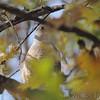 Cooper's Hawk <br /> Bridgeton, Mo <br /> 2017-11-15