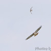 American Kestrel harassing a Red-tailed Hawk <br /> Just south of Chilhowee <br /> SW Missouri