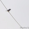 Shrike sp. <br /> Just south of Chilhowee <br /> SW Missouri