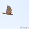 Red_tailed Hawk <br /> Just south of Chilhowee <br /> SW Missouri