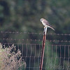 American Kestrel <br /> Just south of Chilhowee <br /> SW Missouri
