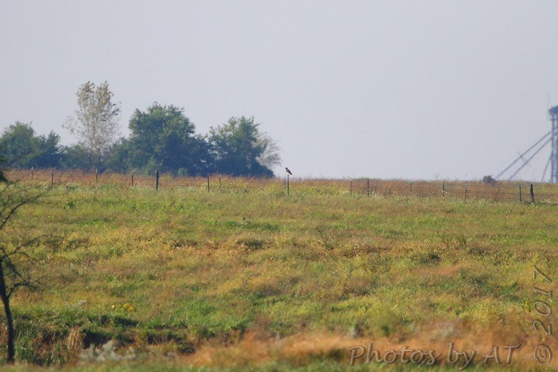 """""""Way out there"""" Red_tailed Hawk <br /> (At least best educated guess)<br /> Just south of Chilhowee <br /> SW Missouri"""