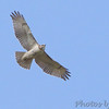 Red-tailed Hawk <br /> Ted Shanks Conservation Area