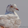 Rock Pigeon (Feral Pigeon) <br /> Viewing platform at headquarters <br /> Clarence Cannon National Wildlife Refuge