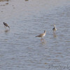 Greater Yellowlegs <br /> Clarence Cannon National Wildlife Refuge