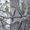 "Cooper's Hawk <br> Riverlands Migratory Bird Sanctuary <br> 2017-10-12 <br>  <span class=""noShowSmart""> <a href=""/MyKeywords/Bird-Videos/n-gF9bt/i-c3Kg3LW/A""> <span style=""color:yellow"">Click here to open video in lightbox/full screen</span></a> </span>  <span class=""noShowGallery""> <a href=""/Birds/2017-Birding/Birding-2017-October/2017-10-12-Riverlands-Migratory-Bird-Sanctuary/i-c3Kg3LW/A""> <span style=""color:yellow"">Click here to open video in lightbox/full screen</span></a> </span>"