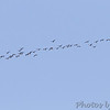 Greater White-fronted Geese <br /> Klondike Park, St. Charles County
