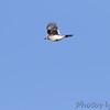 Blue Jay <br /> Klondike Park, St. Charles County