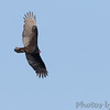Turkey Vulture <br /> Klondike Park, St. Charles County