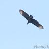 Black Vulture <br /> Klondike Park, St. Charles County