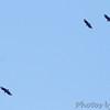 Black Vultures <br /> Klondike Park, St. Charles County