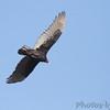 Turkey Vulture <br /> Klondike Park, St. Charles County