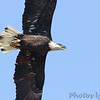 Bald Eagle <br /> Klondike Park, St. Charles County