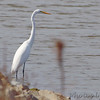 Great Egret <br /> Teal Pond <br /> Riverlands Migratory Bird Sanctuary