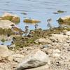 Least Sandpipers and Killdeer <br /> End of boat ramp <br /> Teal Pond <br /> Riverlands Migratory Bird Sanctuary