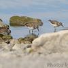 Least Sandpipers <br /> End of boat ramp <br /> Teal Pond <br /> Riverlands Migratory Bird Sanctuary