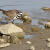 Killdeer <br /> Ellis bay <br /> Riverlands Migratory Bird Sanctuary