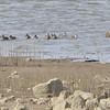 Blue-winged Teal <br /> Ellis bay <br /> Riverlands Migratory Bird Sanctuary