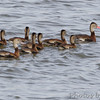 Black-bellied Whistling-Ducks <br /> Teal Pond <br /> Riverlands Migratory Bird Sanctuary