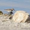 Least Sandpiper <br /> End of boat ramp <br /> Teal Pond <br /> Riverlands Migratory Bird Sanctuary