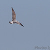 Franklin's Gull <br /> Ellis Bay <br /> Riverlands Migratory Bird Sanctuary