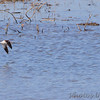 American Avocet <br /> Lincoln Shields Area <br /> Riverlands Migratory Bird Sanctuary