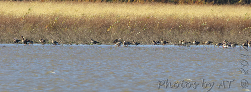 Greater White-fronted Geese <br /> Lincoln Shields Area <br /> Riverlands Migratory Bird Sanctuary