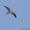 Franklin's Gull <br /> Ellis Bay <br /> Riverlands Migratory Bird Sanctuary