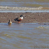 Northern Shovelers <br /> Ellis Bay <br /> Riverlands Migratory Bird Sanctuary