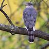 Cooper's Hawk <br /> Bridgeton, Mo <br /> 2017-10-29