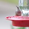 Ruby-throated Hummingbird <br /> Bridgeton, Mo. <br /> 2017-10-07